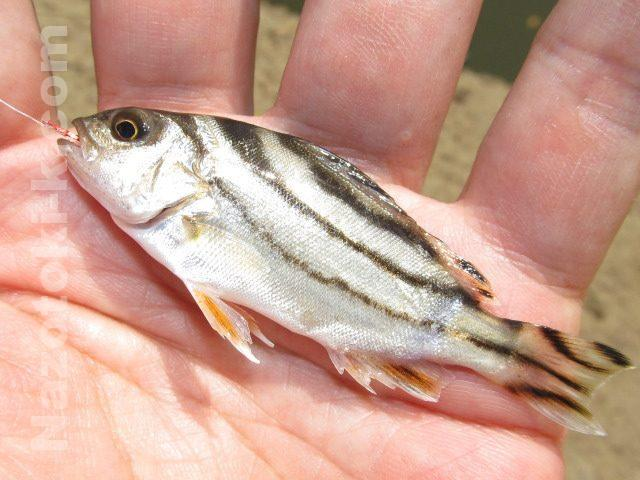 コトヒキの幼魚