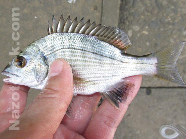 クロダイの幼魚
